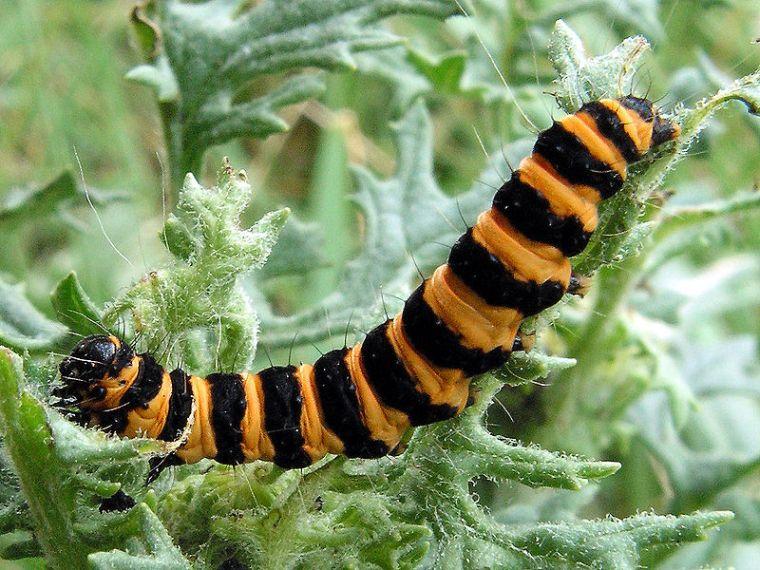 Tyria_jacobaeae_caterpillar