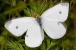 Aromas, San Benito Co., CA; 18 Sep 2008; ~3cm wingspan.