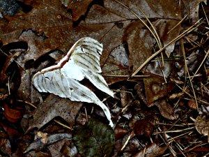 whitelunarmoth2015