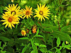 yellowdaisies2015