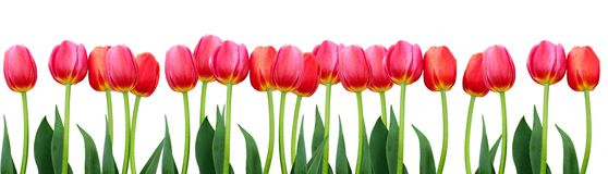 group-flowers-pink-tulips-white-background-panorama-spring-landscape-49104495